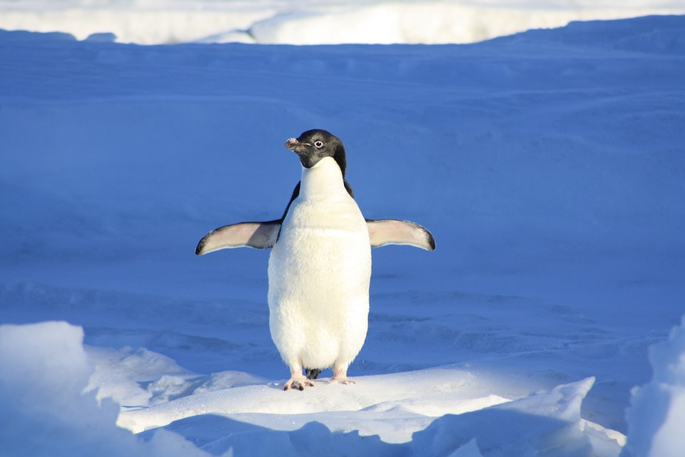 Photo of a penguin (Source: Pixabay)